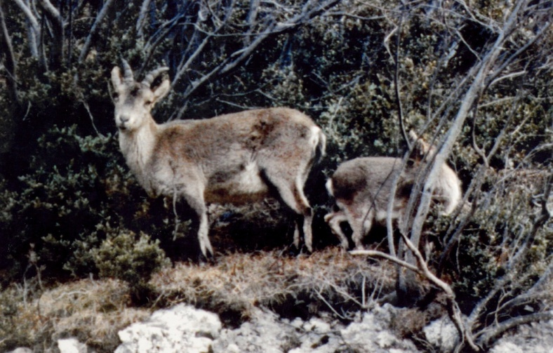 candidman-cabra-bucardo